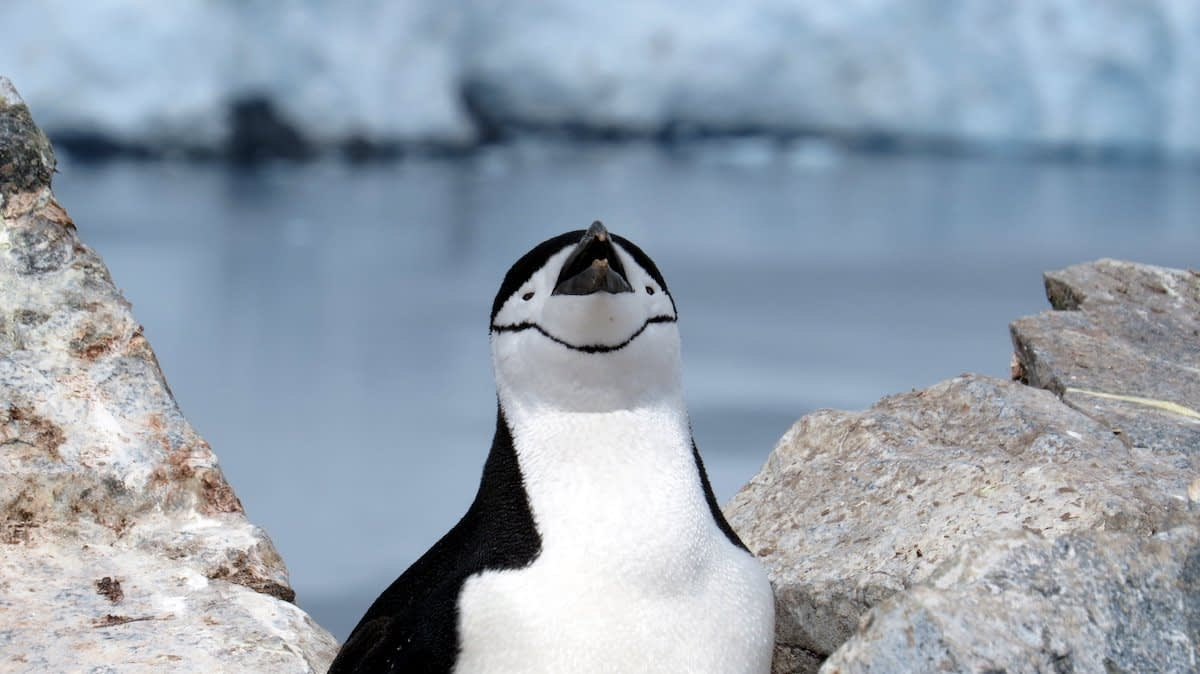 Chinstrap the Penguin